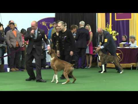 Boxers Westminster Kennel Club Dog Show 2016