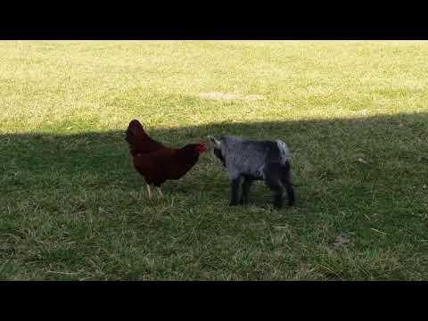 When Rooster Met Goat
