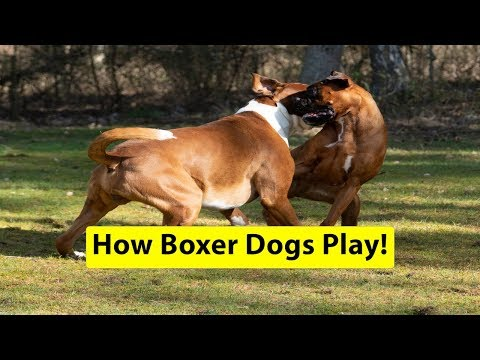 How Boxer Dogs Play! 😁