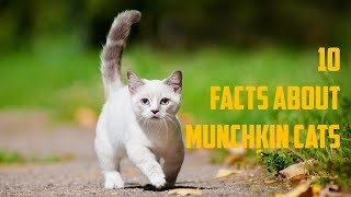10  Facts About Munchkin Cats   Animals Unlimited   Sameer Gudhate