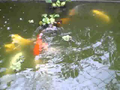 my green water koi and gold fish pond youtube