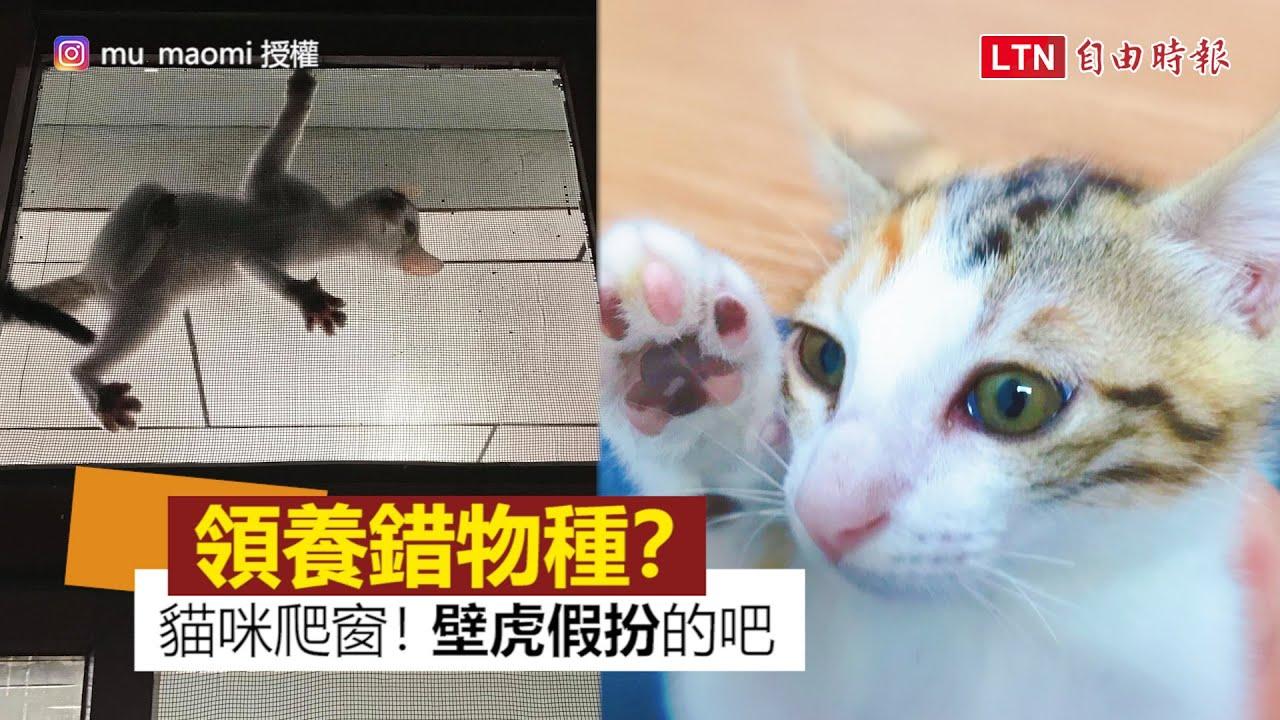 領養貓咪被中途之家騙?! 奴才質疑:我是養到壁虎吧