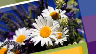 Смотреть видео хризантемы не цветут в саду а скоро снег