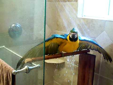 Macaw in the shower
