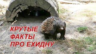 Ехидна - Интересные Факты - Сумчатые Животные Австралии