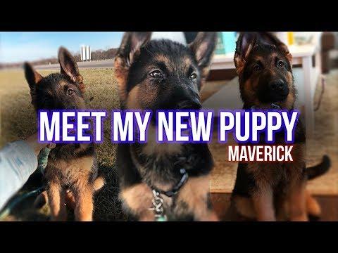 SoaR Riss - MEET MY NEW PUPPY (German shepherd puppy)