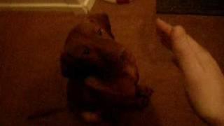 Hungarian Vizsla, Kes's Indoor Puppy Training
