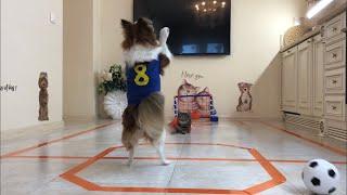 Челлендж кошки против собак - футбол. Тэфи подралась с Баксиком!