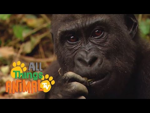 Thumbnail: GORILLA: Animals for children. Kids videos. Kindergarten | Preschool learning
