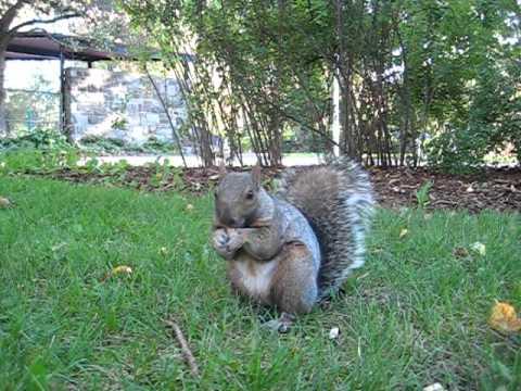Ecureuil Montréal Parc La Fontaine Hungry Squirrel
