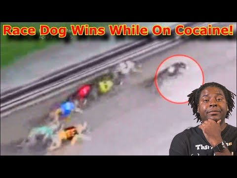 Greyhound Wins Races While On Cocaine❗ 😮Commentary & Vid😮 (David Spates)