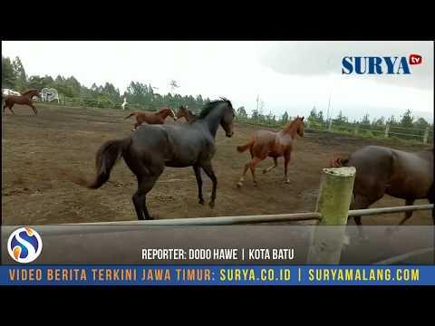 Aksi Kuda kuda Liar Calon Jawara Balapan Kuda