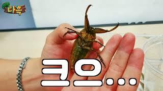 한국곤충 전투력1위  절대로 만지면 안됩니다
