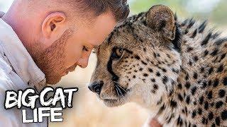'Lion King' Tackles 4 Wild Cheetahs   BIG CAT LIFE