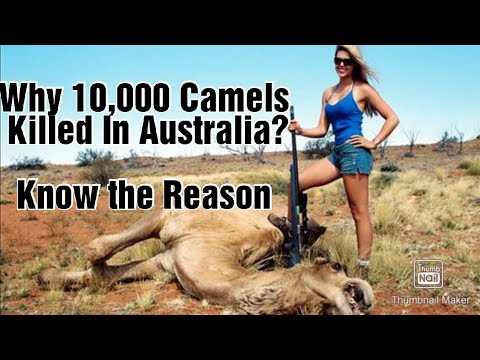 Why 10,000 Camels Killed In Australia? | Know the Reason