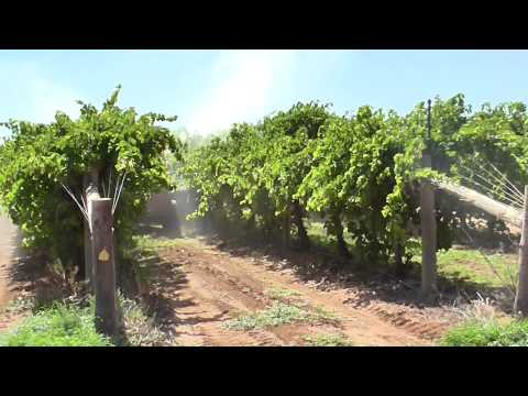 Improving the colour of table grapes