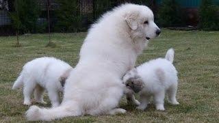 Дуреем! Пиренейская горная собака.