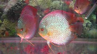 sunny discus in hong kong china discus aquarium fish farm 七彩神仙魚 (旭日水族)