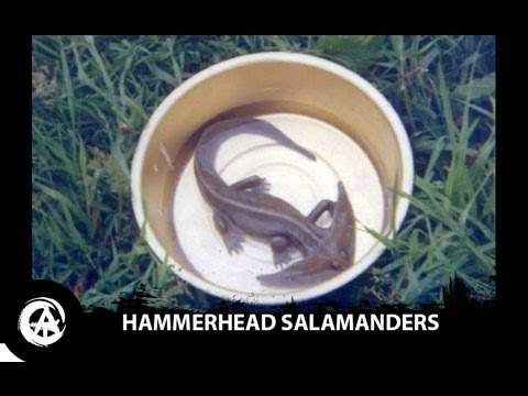Hammerhead Salamander Caught on Camera | Diplocaulus, Prehistoric Amphibians Still Alive?