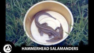 Hammerhead Salamander Caught on Camera | Diplocaulus, Prehistoric Amphibians Still Alive?