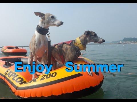 Enjoy Summer ウィペット イタグレ サルーキ トイマン Mix犬 ラーチャー みんな 泳ぐ! 3