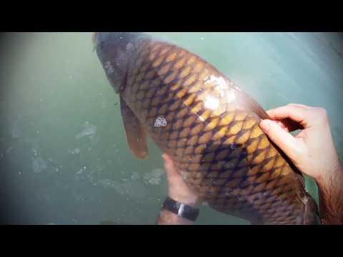 Šaranski ribolov ZRD Vukovina Sessions 08 2017 CARP Fishing