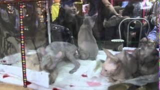 Выставка кошек. Благовещенск, 2016.