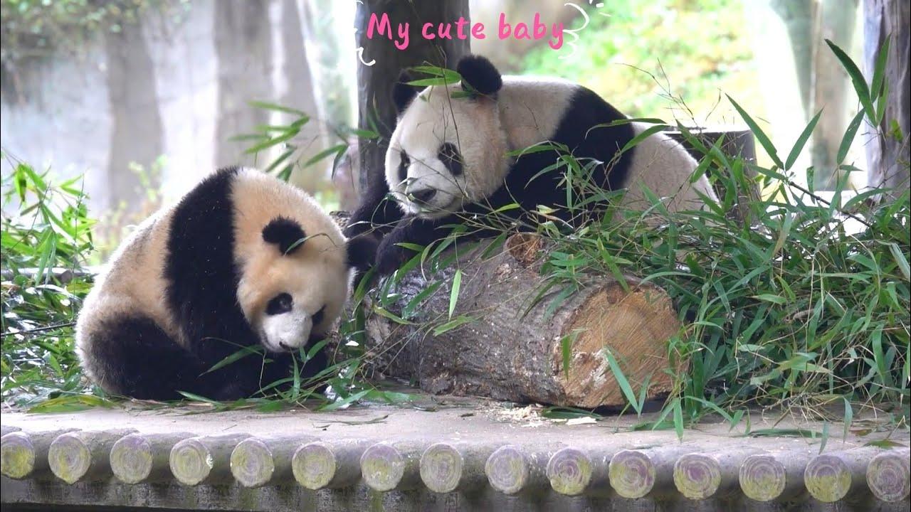 Panda YING HUA with her cub (07/21)