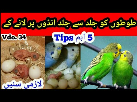 Best Breeding Tips: Jaldi Eggs lyny k best Tips, Australian Parrots in Urdu/Hindi by |Arham| Vdo. 34 thumbnail