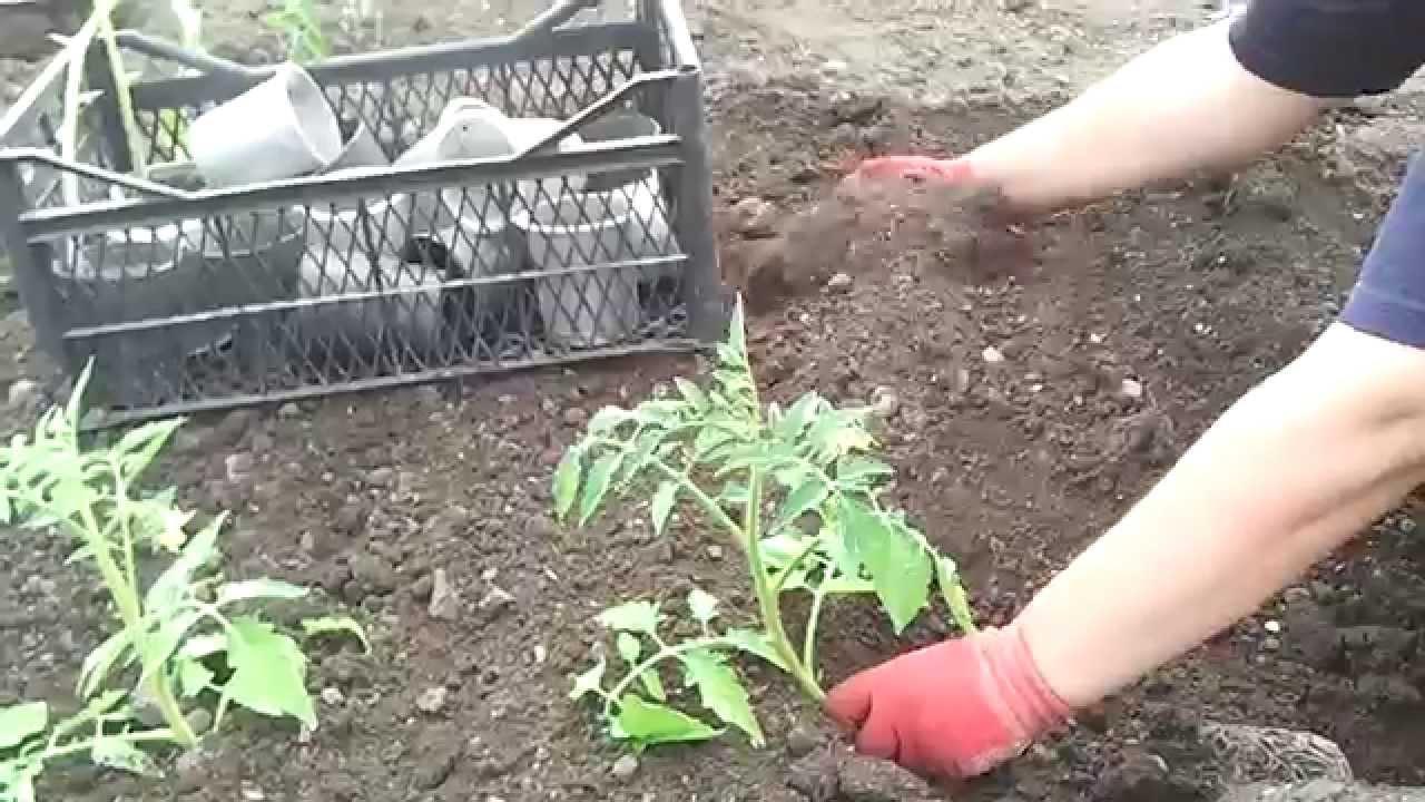 Как посадить рассады помидорами 418
