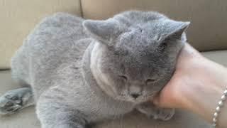 Just keep petting me. British Shorthair cattery Calmcat