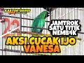 Aksi Cucak Ijo Vanesa Satu Titik Sambil Nembk Mr Yoyon Kartini Group Sultan Akbar  Mp3 - Mp4 Download