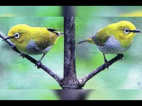 Suara Pikat Burung 5
