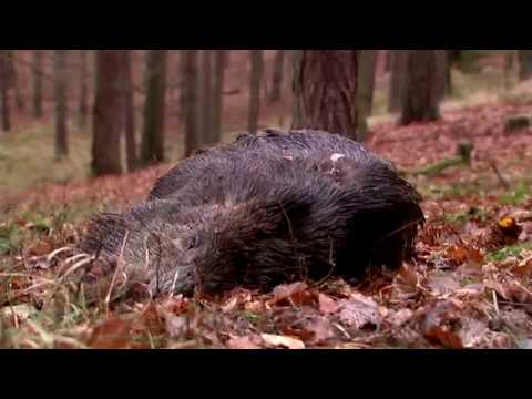 Best of Driven Wild Boar Hunting (ep 4) - Ultimate Hunting
