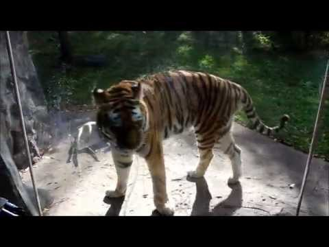 Minnesota Zoo Video tour October 2015. Wolf, tiger,  crocodile, monkey, fish and many others