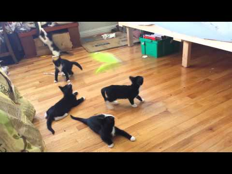 Kitten Flipping | FunnyCat.TV Selkirk Rex Atlanta