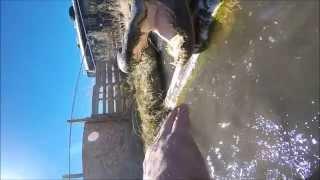 بالفيديو: أمريكي يدخل يده في فم تمساح
