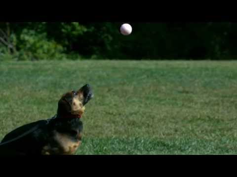 Dog Jumping in Slow Motion for Yellow Tennis Ball in High Definition HD Slow Mo Video Camera Footage