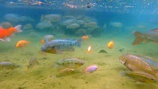 外来種の巣窟と化した沖縄の池にカメラを沈めた結果・・・!