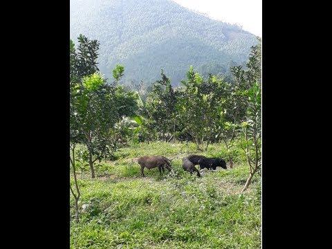 Địa chỉ bán lợn mán,  Liên Hệ: Quân Mán – 0966.656.373 – Giao hàng toàn quốc
