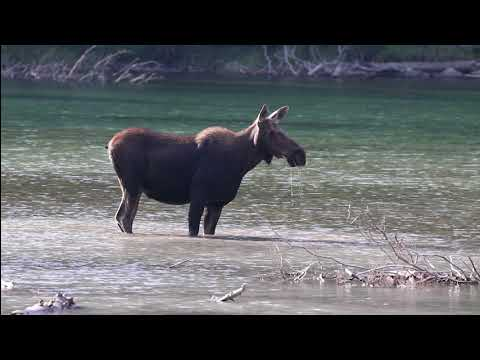 Yellowstone & Glacier Wildlife - August 2018