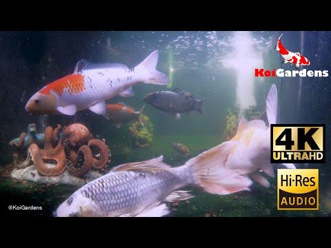 【4k】-koi-gardens---japanese-koi---6-26-2020---koi-pond---fish-pond---nature-sounds