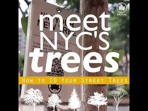 Meet NYC's Trees: Gingko