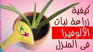 كيفية زراعة نبات الألوفيرا في المنزل
