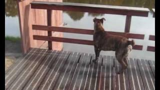 Tygo My Pitbull X Canecorso/ Rottweiler / Bullmastiff Mix
