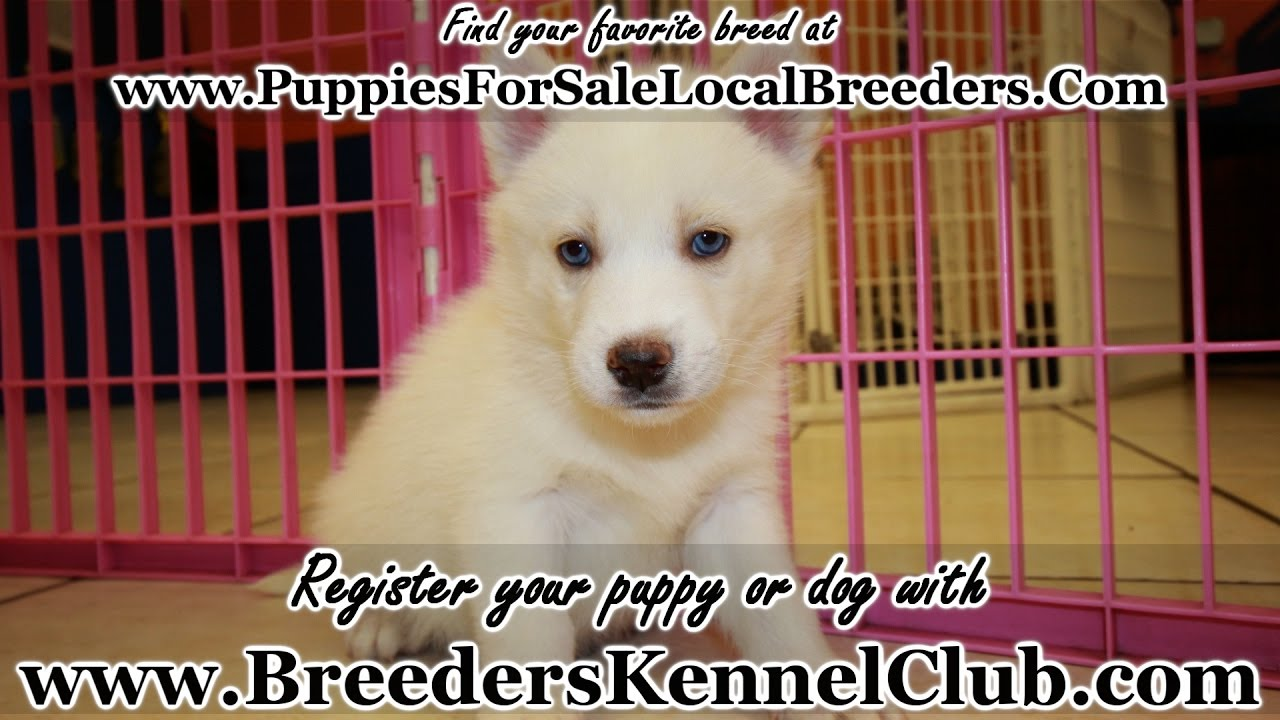 Husky puppies for sale yucca valley - White Siberian Husky Puppies For Sale In Ga Local Breeders