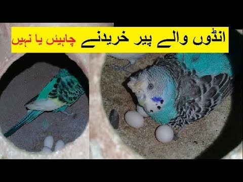 Budgies breeding pair buy with eggs | Australian parrots trade part 1