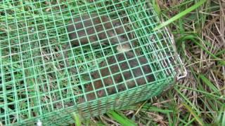 Bẫy Chuột đồng bằng Bẫy tự động 2 ngăn của PHÚC (Automatic mouse trap)