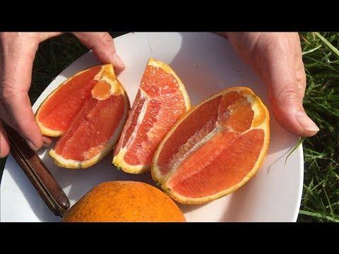 Seedless Dwarf Cara Cara Blood Orange Fruit Tree