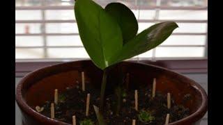 Вот для чего втыкать спички в горшки с растениями